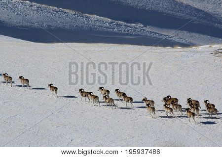 Argali Marco Polo. A flock of sheep Marco Polo in the Tien Shan mountains in winter Kyrgyzstan
