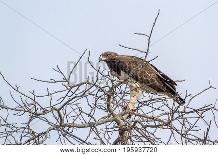 Martial eagle in Kruger national park, South Africa ; Specie Polemaetus bellicosus family of Accipitridae