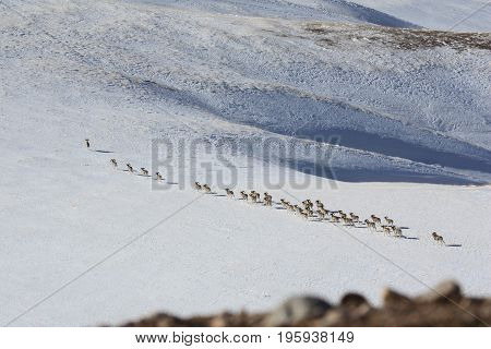 A flock of sheep (argali Marco Polo) migrates in the Tien Shan to another pasture.