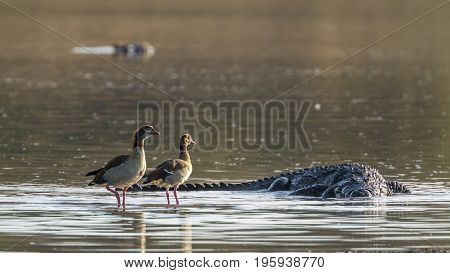 Egyptian goose and Nile crocodile in Kruger national park, South Africa ; Specie Alopochen aegyptiaca and Crocodylus niloticus