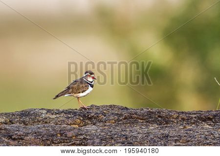 Three-banded plover in Kruger national park, South Africa ; Specie Charadrius tricollaris family of Charadriidae