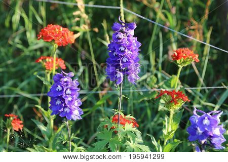 Delphinium and Lychnis chalcedonica in the summer gardend