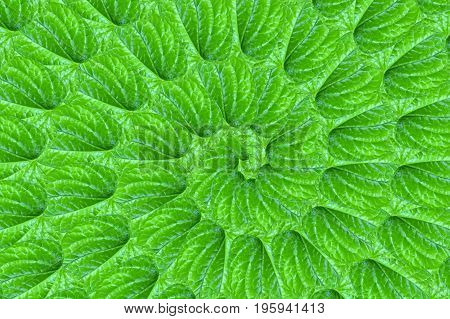 fresh green piper sarmentosum leaves pattern background