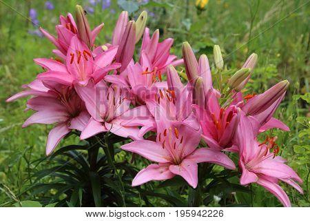 Pink lily flower in the summer garden