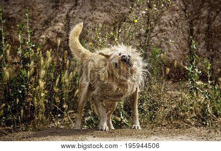 Dog Shaking Water
