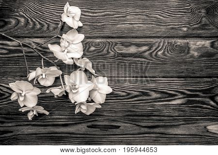 Branch of a white orchid on a gray wooden background