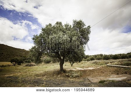 Ancient Olive Tree In The Nature