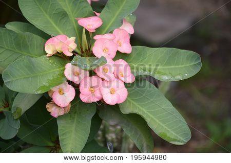 close up Euphorbia milii flower in nature garden