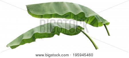 banana leaf isolated on white background, File contains a clipping path.