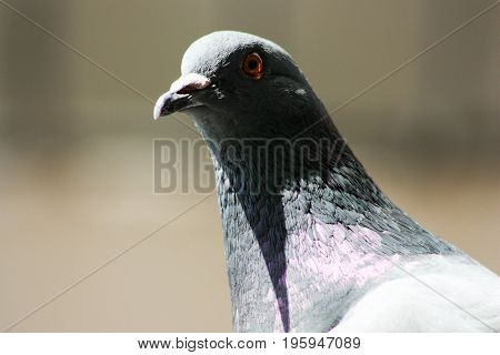 Dove In Search Of Food. The Head Of A Dove Is Close