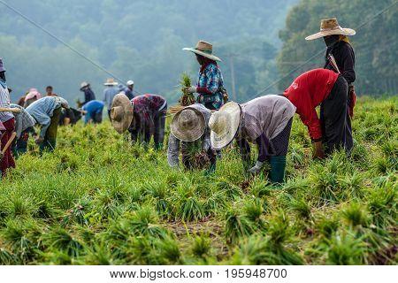 CHIANGMAI THAILAND - OCTOBER 25 2015: Thai farmers are harvesting leek in the farm in traditional harmony.