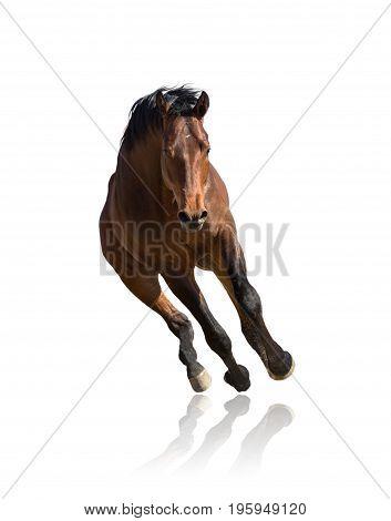 Bay horse runs forward isolated on white background