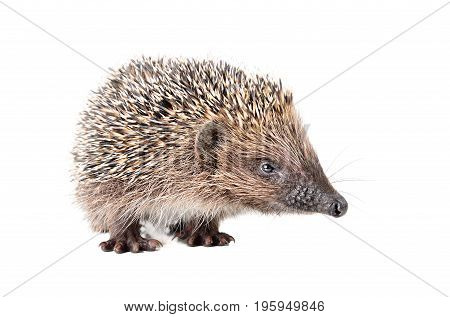 Portrait of a curious sniffing hedgehog, isolated on a white background