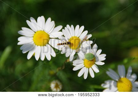 Two friends - wasp and green shield bug on daisy flowers