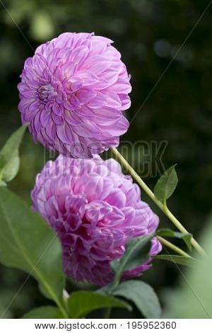 2 Bracken Sequel Dahlia Flowers: Portrait Orientation