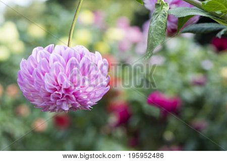 Single Upside Down Bracken Sequel Dahlia Flower With Flower Background