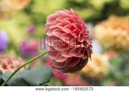 Sylvia Craig Hunter Dahlias - Side View