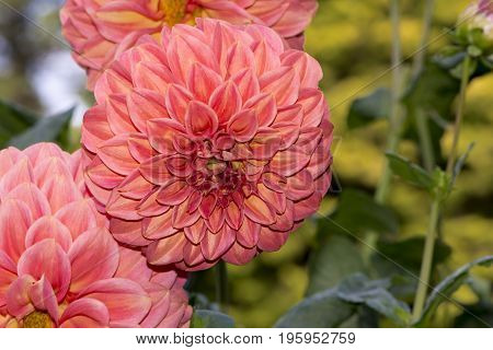 3 Sylvia Craig Hunter Dahlias - Facing Front