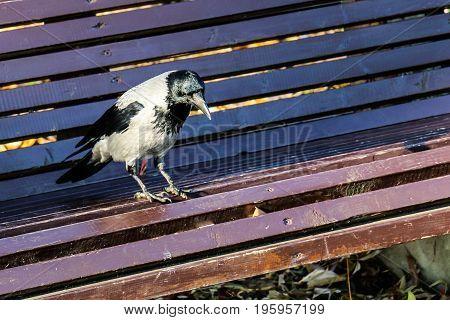 Sad crow on a park bench close up