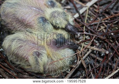 Nest Of A Dove. Wildlife In The City. Baby Pigeon