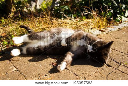 lovely black and white cat plays in the sun