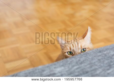 Yellow cat hidden behind a sofa in lounge. Beautiful cat with green eyes play next the the couch.