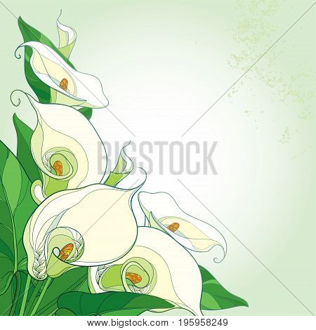 Vector bouquet with Calla lily flower or Zantedeschia on the pastel background. Corner composition in contour style with ornate calla flowers, buds and green foliage for summer design.