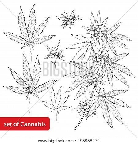 Vector set with outline Cannabis sativa or Cannabis indica or Marijuana. Branch, leaves and seed isolated on white background. Medicinal plant in contour style for summer design and coloring book.