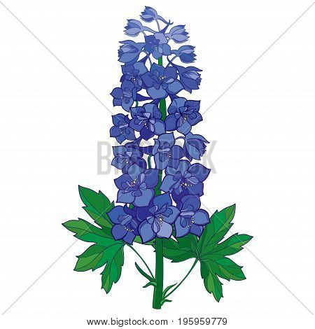 Vector bunch with ornamental blue Delphinium or Larkspur. Stem with flowers and green leaves isolated on white background. Floral element in contour style with ornate Delphinium for summer design.