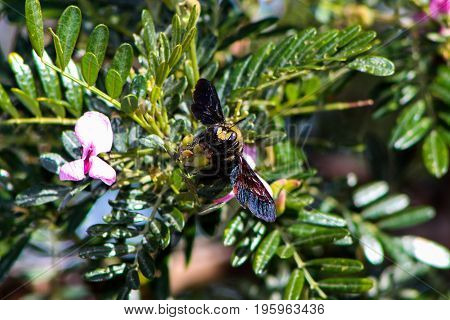Bumble bee perched on branch looking for nectar