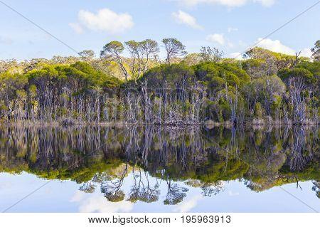 Swamp paperbark trees growing on banks of Wallagaraugh river with beautiful reflections at Croajingolong National Park Australia