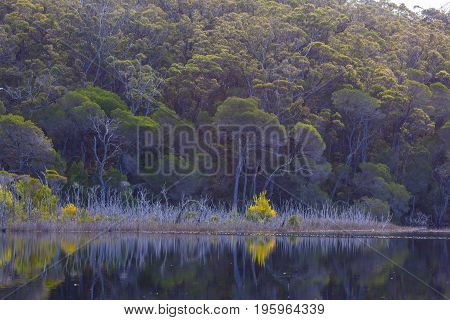 Beautiful native Australian trees reflecting the water. Victoria Australia