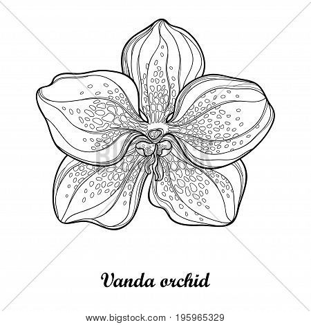 Vector illustration with outline Vanda orchid flower isolated on white background. Epiphyte tropical flower. Exotic Vanda in contour style for summer design and coloring book.