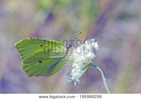 Save Download Preview Light green butterfly Gonepteryx rhamni sitting on white flower. Butterfly Common brimstone is butterfly of Pieridae family feeding on white flower, side view