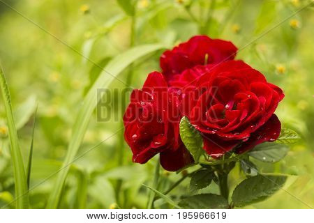 Three red scarlet decorative roses in summer garden in drops of rain. Flowers after rain garden flowerbed background