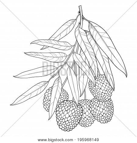 Vector branch with outline Chinese Lychee or Litchi fruit and leaf isolated on white background. Perennial subtropical tree in contour style for summer design, juicy fresh menu and coloring book.