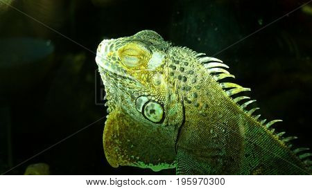 Green Iguana is dreaming during an afternoon nap