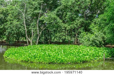 Eichornia crassipes in dirty river India Andaman islands. Water hyacinth