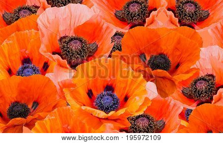 View of red poppies filling the image.
