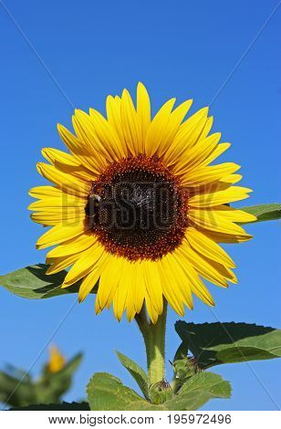 yellow sunflower with bumble bee - blue sky