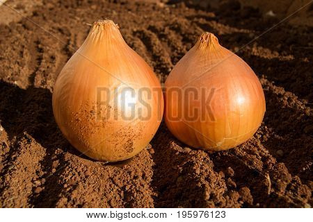 Two golden brown onions on damp soil on a sunny day