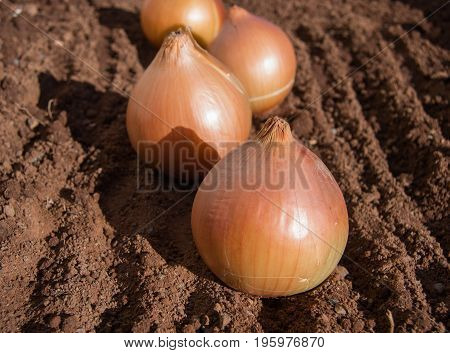 Raw golden onions on damp soil on a cold winters morning