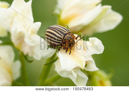 Insect Beetle Leptinotarsa Decemlineata - Serious Pest Of Potatoes. Colorado Potato Striped Beetle On White Flower Of Potato.