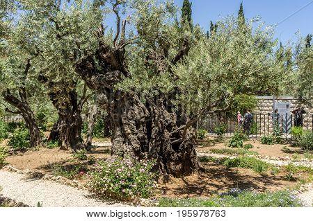 The Garden of Gethsemane on the Mount of Olives in Jerusalem Israel. Old olive trees in the Garden