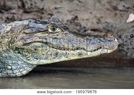 Cayman in Costa Rica. The head of a crocodile (alligator) closeup