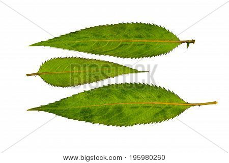 Pressed and dried leaves impatiens glandulifera (Himalayan Balsam). Isolated on white background. For use in scrapbooking pressed floristry (oshibana) or herbarium.