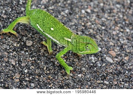 The African chameleon goes on asphalt road Kruger national Park South Africa