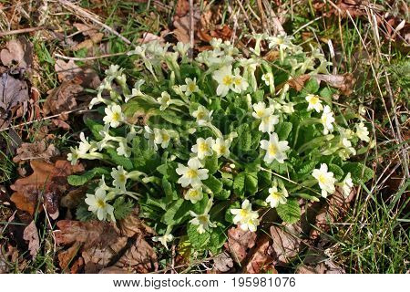 Primroses (Primula vulgaris) in spring woodland with a background of decaying leaves.