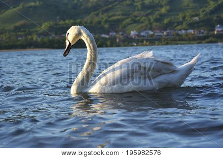 Lonely swan at dusk. Swan cygnus swimming during a golden sunset on a beautiful magical blue lake in the evening