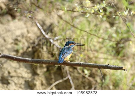 kingfisher (alcedo atthis) in natural habitat. Danub Delta, Romania